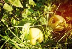 Les pommes de jardin, pommier s'embranche avec les pommes mûres en parc de ville tonalité Photos libres de droits