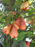 Les pommes de Java de rose de rouge sur l'arbre, eugenia porte des fruits Photos stock