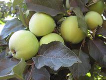 Les pommes de synapses ne sont pas encore mûres, et accrochent parmi les feuilles sur l'arbre photographie stock