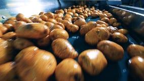 Les pommes de terre fraîches se déplacent le long du transporteur banque de vidéos