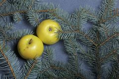 Les pommes jaunes mûres se trouvent parmi les branches du sapin bleu Photos stock