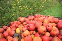 Les pommes mûres dans la boîte et les pommes non mûres accrochent sur les arbres dans le verger Photo libre de droits