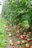 Les pommes mûres au sol dans un appletree font du jardinage Image stock
