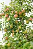 Les pommes mûres au sol dans un appletree font du jardinage Photo stock