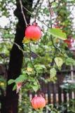 Les pommes mûres en gouttes de pluie sur le pommier s'embranchent Image libre de droits