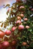 Les pommes mûres fraîches sur l'arbre en été font du jardinage Apple moissonnent Image libre de droits