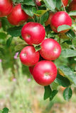 Les pommes mûres sur l'arbre, se ferment  Image stock