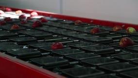 Les pommes propres et fra?ches sur la bande de conveyeur dans l'installation de traitement des denr?es alimentaires des produits  banque de vidéos