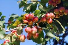 Les pommes red delicious se développent sur un arbre dans le jardin Photographie stock
