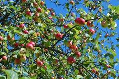 Les pommes red delicious se développent sur un arbre dans le jardin Photo libre de droits