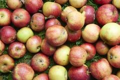 Les pommes rouges de chute se situe dans l'herbe Image stock