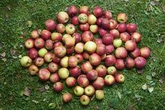 Les pommes rouges de chute se situe dans l'herbe Photo stock