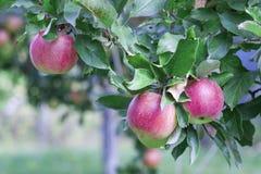 Les pommes rouges mûres se développent sur un pommier dans le jardin photo stock