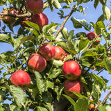 Les pommes rouges se développent sur une branche contre le ciel bleu Photos stock