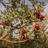 Les pommes rouges sur le pommier s'embranchent en automne en Hongrie images libres de droits