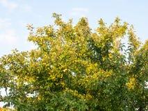 Les pommes sauvages grandissantes vertes sur un arbre en été s'allument Photo stock