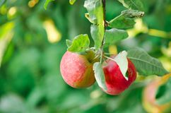 Les pommes se développent sur un branchement image libre de droits