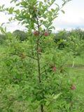 Les pommes sont le fruit d'un travail du ` s d'agriculteur images libres de droits
