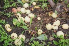 Les pommes sont tombées d'un arbre Pommes mûres sur la terre Image libre de droits