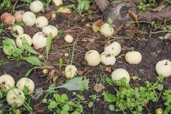 Les pommes sont tombées d'un arbre Pommes mûres sur la terre Photos stock
