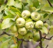 Les pommes vertes mûres fraîches sur l'arbre en été font du jardinage Photographie stock libre de droits