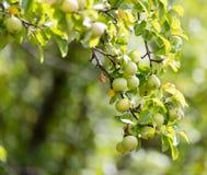 Les pommes vertes mûres fraîches sur l'arbre en été font du jardinage Image libre de droits