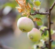 Les pommes vertes mûres fraîches sur l'arbre en été font du jardinage Photo libre de droits
