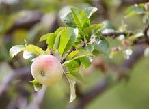 Les pommes vertes mûres fraîches sur l'arbre en été font du jardinage Photographie stock