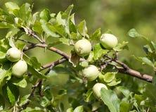 Les pommes vertes mûres fraîches sur l'arbre en été font du jardinage Photos stock