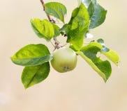 Les pommes vertes mûres fraîches sur l'arbre en été font du jardinage Image stock