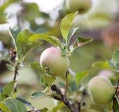 Les pommes vertes mûres fraîches sur l'arbre en été font du jardinage Photos libres de droits