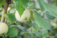 Les pommes vertes se développent Les pommes se développent dans un jardin Images stock