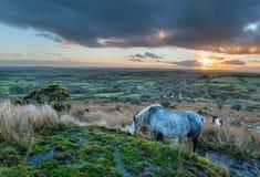Les poneys sur Bodmin amarrent Photographie stock libre de droits