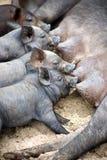 Les porcelets mignons aspirent leur porc de mère Photo stock
