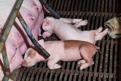Les porcelets nouveau-nés essayent d'allaiter de son porc de mère Scramb Photographie stock libre de droits