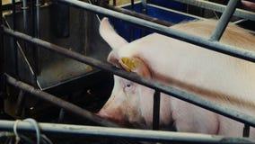 Les porcs à une ferme de porc se trouvent et mangent clips vidéos