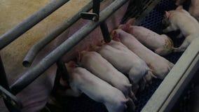 Les porcs à une ferme de porc se trouvent et mangent banque de vidéos