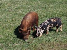 Les porcs contrastants frôlent Photos stock