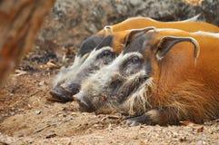 Porc de la rivière rouge Photos libres de droits