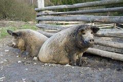 Les porcs de mangalitsa Images libres de droits