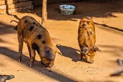 Les porcs domestiqués birmans photos stock