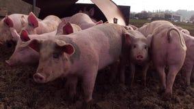 Les porcs heureux dans la boue regarde à l'appareil-photo banque de vidéos