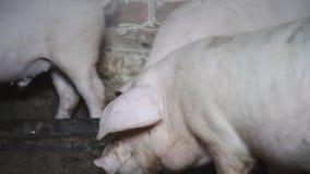 Les porcs mangent d'une cuvette Groupe de piggies Les porcs ont faim Animaux d?velopp?s ? la ferme banque de vidéos