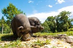 Les porcs mangent, vue en gros plan, été Photographie stock libre de droits