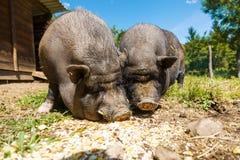 Les porcs mangent, vue en gros plan, été Image libre de droits