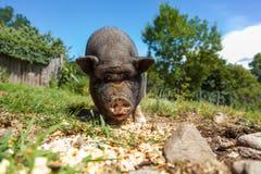 Les porcs mangent, vue en gros plan, été Photo libre de droits