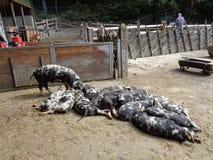 les porcs refroidissent à la ferme photo stock