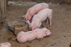 Les porcs sont stalle rassemblée de nourriture dans la construction hors de bois Photos libres de droits