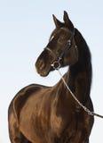Les poses noires de cheval. Photos libres de droits