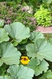 Les potirons de floraison avec gaffent des abeilles Photo libre de droits